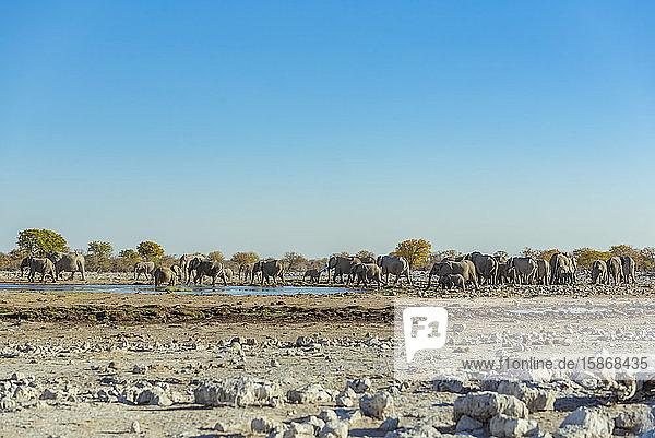 African Elephants (Loxodonta)  Etosha National Park; Namibia