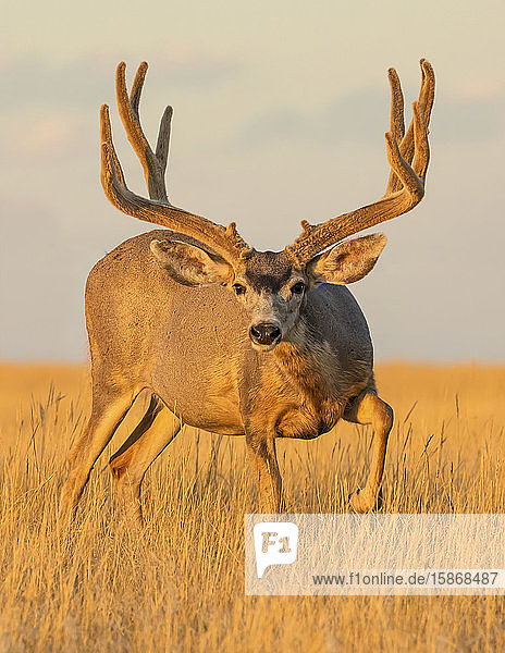 Mule deer (Odocoileus hemionus) stag with antlers standing in long grass illuminated by golden sunlight and looking at the camera; Steamboat Springs  Colorado  United States of America