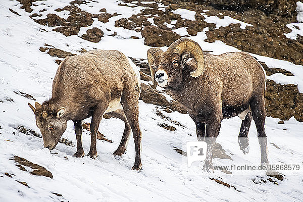 Bighorn Sheep ram (Ovis canadensis) courts an ewe on a snowy day in the North Fork of the Shoshone River valley near Yellowstone National Par; Wyoming  United States of America