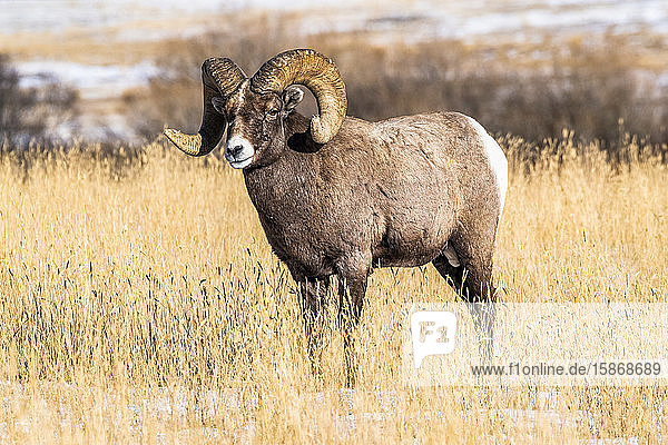 Bighorn Sheep ram (Ovis canadensis) with massive horns stands in a grassy meadow during the rut near Yellowstone National Park; Montana  United States of America