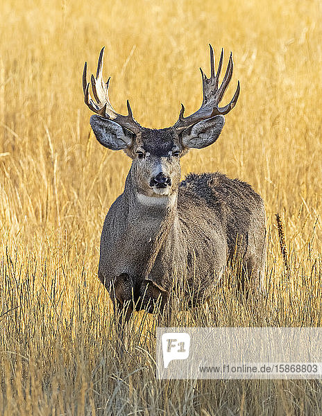 Mule deer (Odocoileus hemionus) stag with antlers standing in long grass looking at the camera; Steamboat Springs  Colorado  United States of America