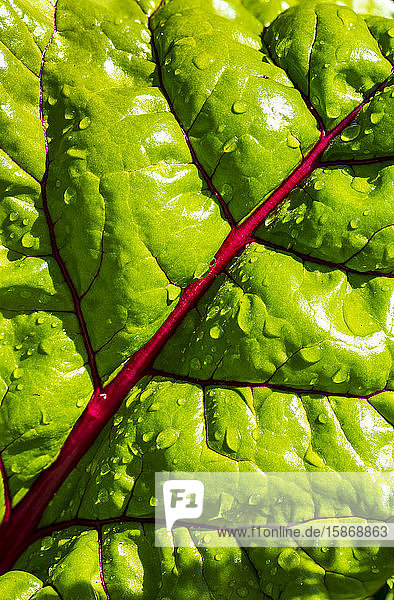 Extreme close-up of a swiss chard leaves with red veins and water droplets; Calgary  Alberta  Canada