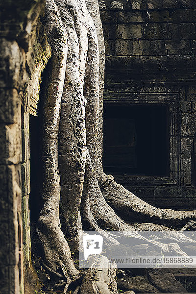 Ta Prohm Temple in the Angkor Wat complex; Siem Reap  Cambodia