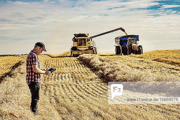 A farmer using his tablet to help manage the wheat harvest while a combine is offloading a full load of grain to a grain buggy: Alcomdale  Alberta  Canada