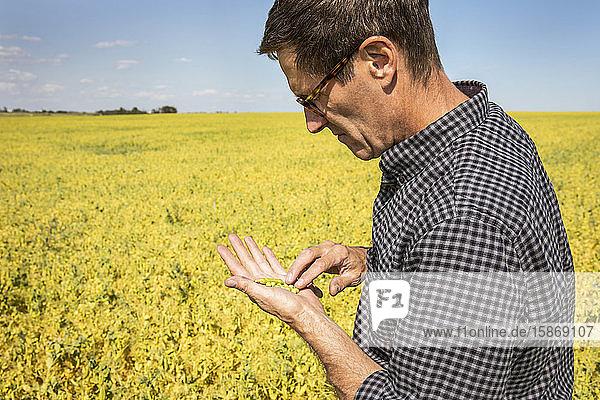 A farmer in a farm field inspecting a pea crop; Alberta  Canada