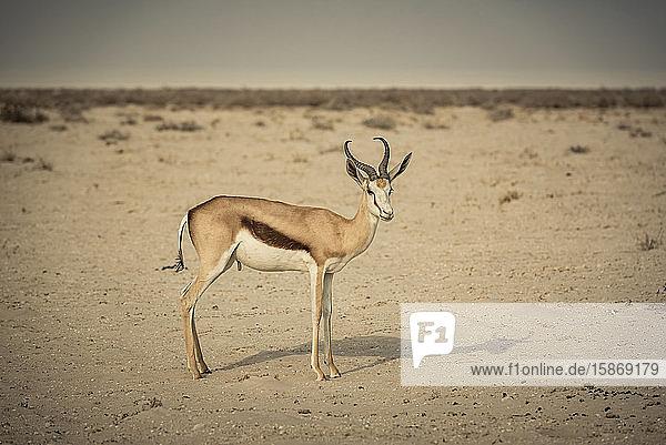 Springbok (Antidorcas marsupialis)  Etosha National Park; Namibia