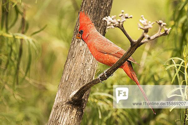 Male Northern Cardinal (Cardinalis cardinalis) in the Chiricahua Mountains near Portal; Arizona  United States of America