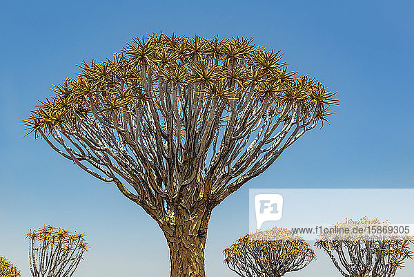 Quiver Trees (Aloidendron dichotomum) in Quiver Tree Forest  Gariganus farm  near Keetmanshoop; Namibia