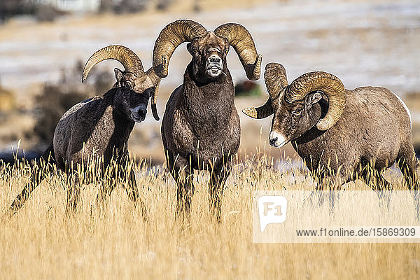 Three Bighorn Sheep rams (Ovis canadensis) interact with each other during the rut near Yellowstone National Park; Montana  United States of America
