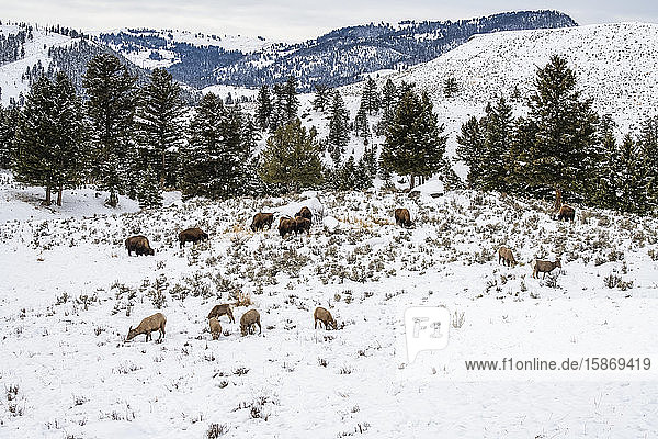 American Bison (Bison bison) and Bighorn Sheep (Ovis canadensis) grazing near each other in a snowy meadow in Yellowstone National Park; Wyoming  United States of America