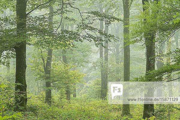 Deciduous woodland on a misty rainy day  Cornwall  England  United Kingdom  Europe