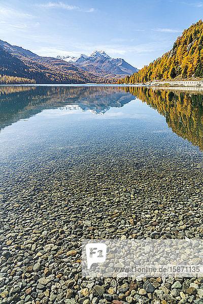 Colorful larch trees mirrored in Lake Silvaplana in autumn  St. Moritz  Engadine  canton of Graubunden  Switzerland  Europe