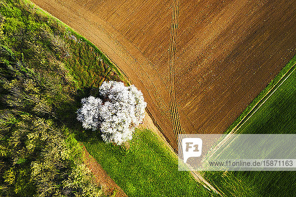 Zenithal aerial view of cherry tree in bloom  Lombardy  Italy  Europe