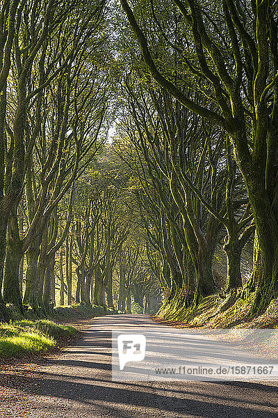 Tree lined lane on the edge of Dartmoor  Bridestowe  Devon  England  United Kingdom  Europe