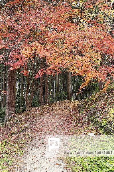 Autumn foliage on Nakasendo Way  Tsumago  Gifu Prefecture  Honshu  Japan  Asia
