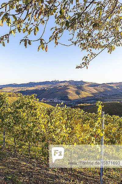 Vineyard of Barolo wine region in autumn  Serralunga d'Alba  Langhe  Piedmont  Italy  Europe