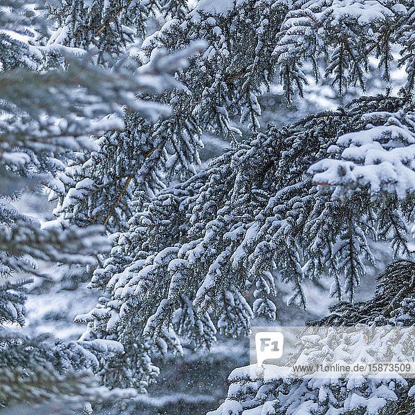 Snow on pine branches Snow on pine branches
