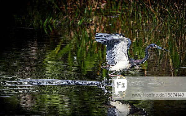 Tricolored heron standing in river Tricolored heron standing in river