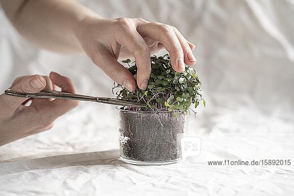 Hände einer Frau bei der Ernte von frischem Rucola-Mikrogrün