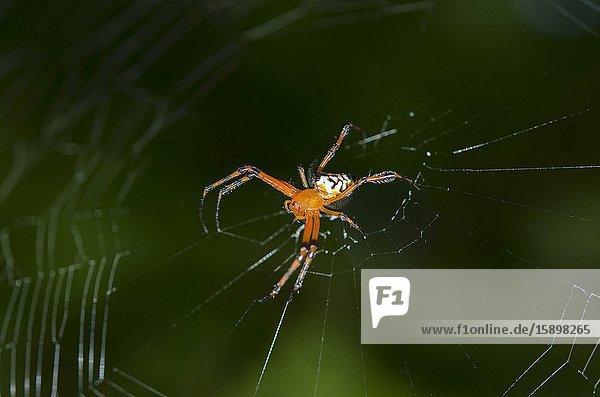 Pear-Shaped Leucauge Spider (Opadometa fastigata  Tetragnathidae Family)  Tangkoko National Park  Sulawesi  Indonesia.