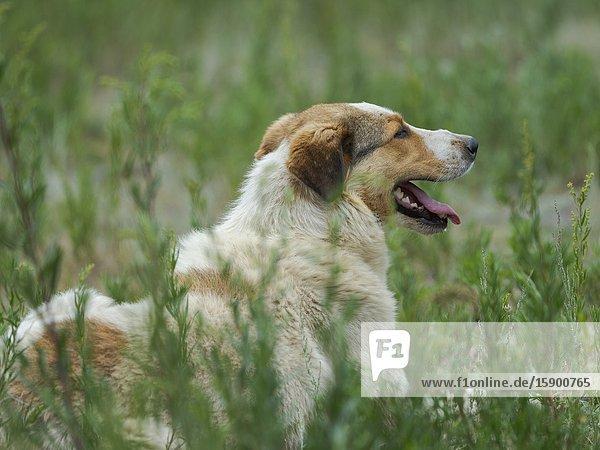 Hunting dog before the competition.Folk Festival commemorating the origin myth the Tien Shan Maral (Tian Shan wapiti)  an origin myth of the Kyrgyz tribes. Near Tasch Baschat  Naryn region. Asia  Central Aisa  Kyrgyzstan