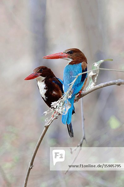 White-Throated Kingfisher (Halcyon smyrnensis smyrnensis)  Alcedinidae Family  Coraciiformes Order  Ranthambhore National Park  Rajasthan.