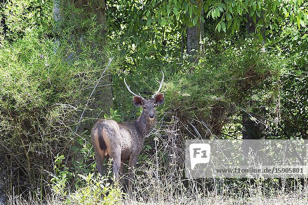 Stag Sambar deer (Rusa unicolor) in the forest  Bandhavgarh National Park  Madhya Pradesh  India.
