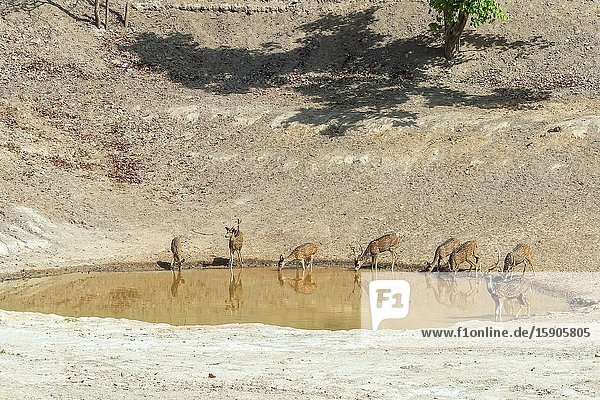 Chital or Spotted deer (Axis axis) drinking in a pond  Bandhavgarh National Park  Madhya Pradesh  India.