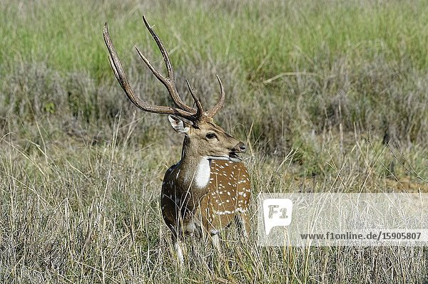 Chital or Spotted deer (Axis axis)  Kanha National Park and Tiger Reserve  Madhya Pradesh  India.