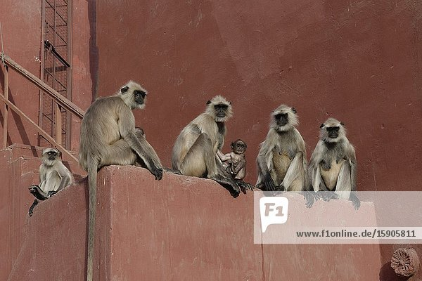 Group of Hanuman Langur (Semnopithecus entellus) seated on a wall,  Ranthambhore National Park,  Rajasthan,  India.