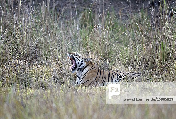 Young male Bengal tiger (Panthera tigris tigris) resting in grass,  Kanha Tiger Reserve,  Madhya Pradesh,  India.