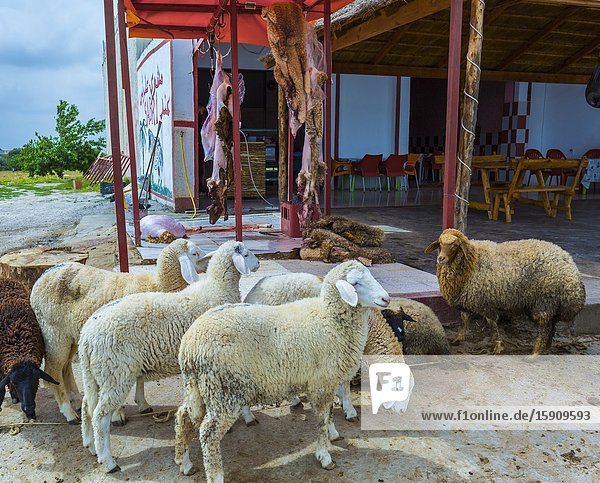 Lambs and hides in a local restaurant. El Jem town. Tunisia  Africa.