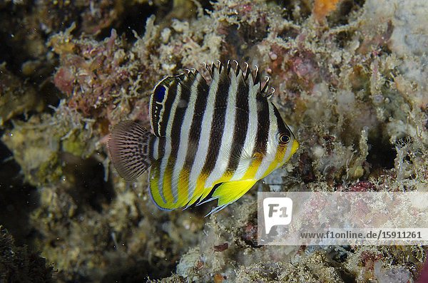 Multi-barred Angelfish (Centropyge multifasciata)  Pasir Tidore dive site  Weda  Halmahera  North Maluku  Indonesia  Halmahera Sea.