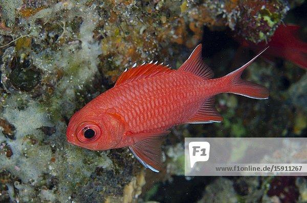 Whitetip Soldierfish (Myripristis vittata)  Pasir Tidore dive site  Weda  Halmahera  North Maluku  Indonesia  Halmahera Sea.