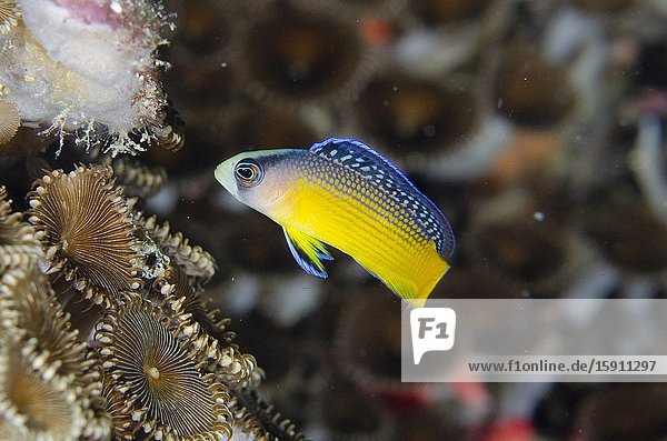 Juvenile Splendid Dottyback (Pseudochromis splendens)  Loleo dive site  Weda  Halmahera  North Maluku  Indonesia  Halmahera Sea.