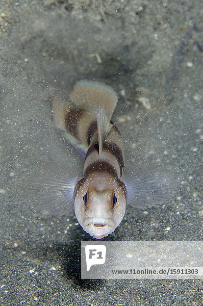 Steinitz' Shrimpgoby (Amblyeleotris steinitzi)  Kobe Reef dive site  Weda  Halmahera  North Maluku  Indonesia  Halmahera Sea.