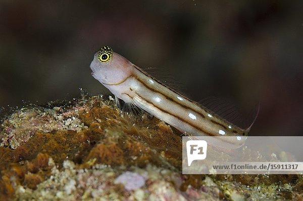 Three-lined Blenny (Ecsenius trilineatus)  Gorango Mini dive site  Weda  Halmahera  North Maluku  Indonesia  Halmahera Sea.