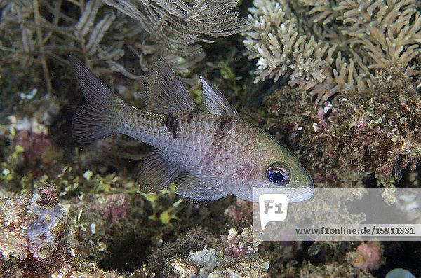 Threespot Cardinalfish (Pristicon trimaculatus)  Pasir Putih dive site  Weda  Halmahera  North Maluku  Indonesia  Halmahera Sea.