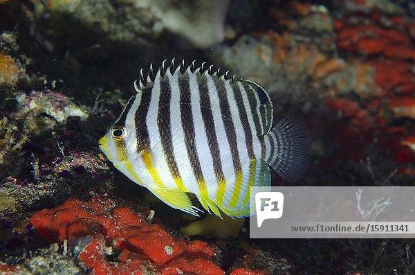Multi-barred Angelfish (Centropyge multifasciata)  Elmoost dive site  Weda  Halmahera  North Maluku  Indonesia  Halmahera Sea.