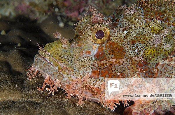 Papuan Scorpionfish (Scorpaenopsis papuensis)  Tanjung Uli dive site  night dive  Weda  Halmahera  North Maluku  Indonesia  Halmahera Sea.