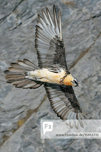 Bearded Vulture / Lammergeier ( Gypaetus barbatus )  Ossifrage  in flight  flying  gliding in front of a steep mountain cliff  Swiss alps  wildlife.