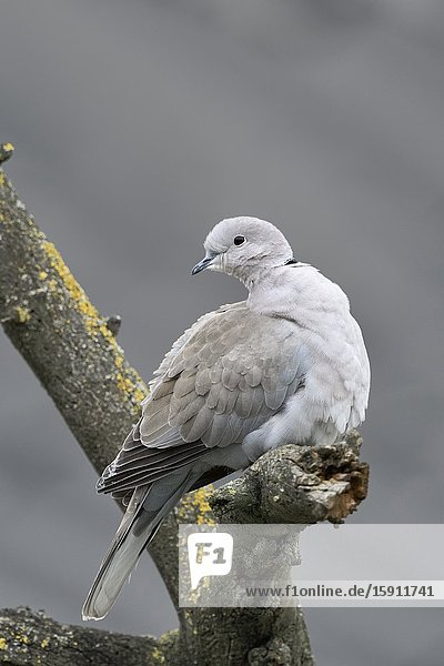 Eurasian Collared Dove / Türkentaube ( Streptopelia decaocto ) in winter  perched in a tree  turning its head  watching back  wildlife  Europe.