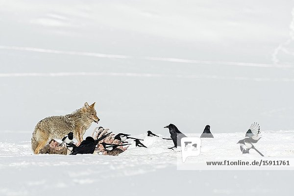 Coyote / Kojote ( Canis latrans ) at a carcass  defending it against magpies and ravens  in winter  high snow  Yellowstone NP  USA..