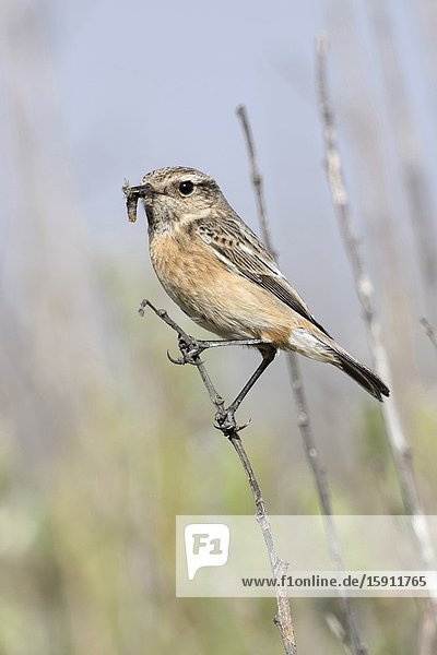 European Stonechat / Schwarzkehlchen ( Saxicola torquata )  female  perched on top of a bush  prey in beak  in typical environment  wildlife  Europe.