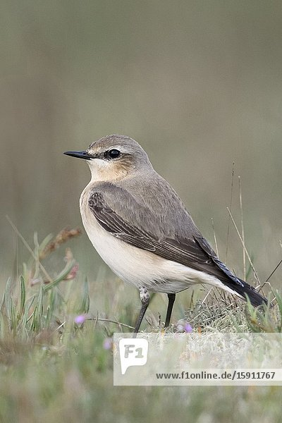 Northern Wheatear ( Oenanthe oenanthe )  male adult  sitting on the ground  in typical surrounding  watching  wildlife  Europe..