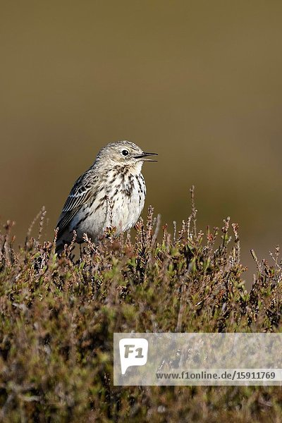 Meadow Pipit / Wiesenpieper ( Anthus pratensis ) perched elevated on top of heather bushes  singing  courting display  wildlife  Europe.