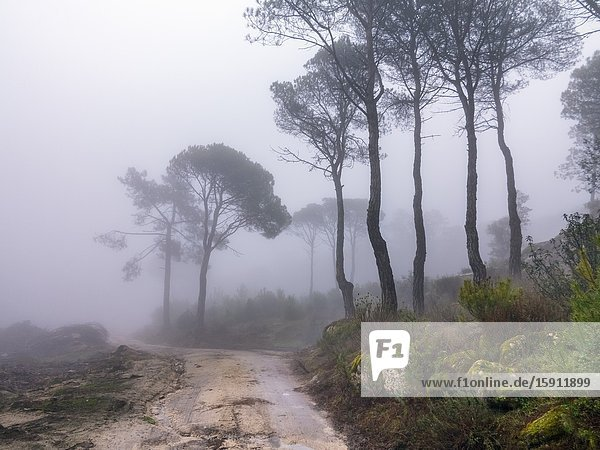Pathway  moss  cistus and fog at Concejo pinewood in Cadalso de los Vidrios. Madrid. Spain. Europe.