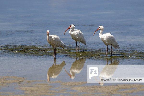 American white ibis (Eodocimus albus)  Siesta Key  Sarasota  Florida  USA..