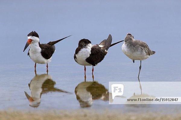 Black skimmer (Rynchops niger)  Siesta Key beach  Sarasota  Florida  USA.