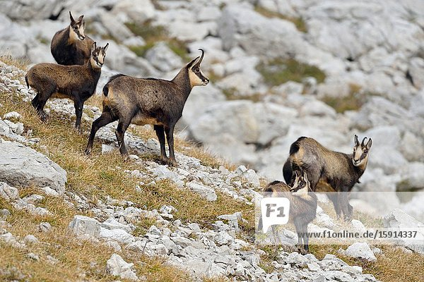 Chamois / Alpine chamois ( Rupicapra rupicapra )  two adults with young fawns  in autumn  typical surrounding  alps  Germany  wildlife.
